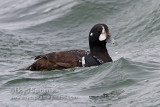 Harlequin Duck (1st winter male)