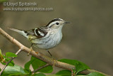 Black-and-white Warbler (female)