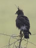 long-crested eagle  Lophaetus occipitalis
