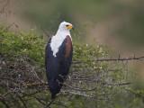 african fish eagle  afrikaanse zeearend  Haliaeetus vocifer