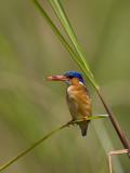 malachite kingfisher  Alcedo cristata