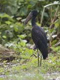african open-billed stork  Anastomus lamelligerus