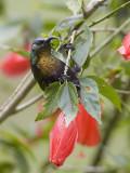 bronze sunbird(Nectarinia kilimensis)