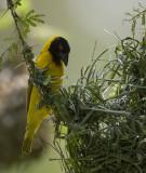 black-headed weaver  Ploceus cucullatus