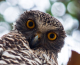 Powerful owl crop