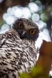 Curious powerful owl