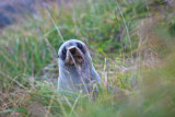 Baby New Zealand fur seal peers out from behind grass