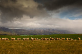 Sheep with approaching storm