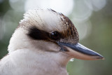 Kookaburra 300mm at f/8