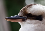 Kookaburra at 135 mm crop