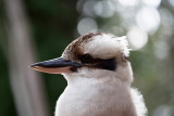Kookaburra at 135 mm