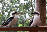 Kookaburras at 70 mm