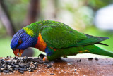 Rainbow lorikeet on deck
