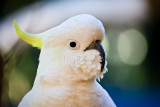 Sulphur crested cockatoo close up