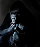 Lowland mountain gorilla with hand of baby