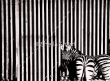 Zebras with fence monochrome