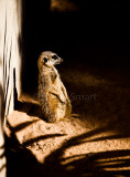 Meerkat standing in sunbeam