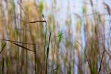 Reeds at Narrabeen