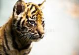 Sumatran cub close up