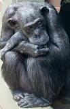 Elderly chimpanzee