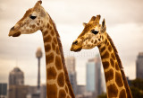 Giraffes with Sydney city backdrop