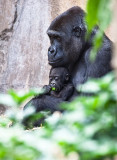 Lowland mountain gorilla and baby