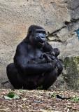 Gorilla sitting with baby