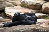 Sleeping chimpanzee