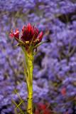 Gymea lily with jacaranda backdrop