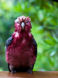 Wet galah looking forward