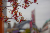 Kangaroo paw with Sydney Harbour Bridge backdrop