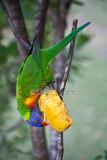 Rainbow lorikeet eating mango on deck