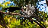 Currawong feeding channel-billed cuckoo