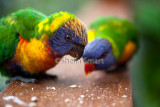 Baby rainbow lorikeet with mother on deck