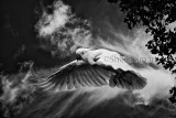 Sulphur crested cockatoo in flight in black and white
