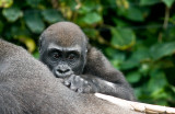 Baby gorilla on mother's back