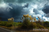 Pampas grass with clouds