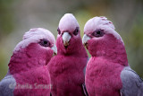 Three galahs in conference