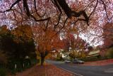 Blue Mountains trees in autumn