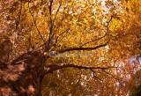 Liquidambar with autumn leaves
