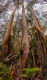 Shedding gum trees in Blue Mountains