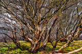 Dead gum tree in Snowy Mountains