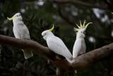 Sulphur crested cockatoos in gumtree