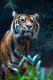 Curious sumatran tiger