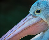 Australian white pelican closeup