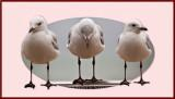 Three silver gulls in frame