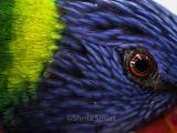 Eye of rainbow lorikeet