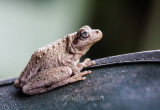 Perons tree frog on hat