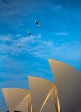 Sacred ibis flying above Sydney Opera House