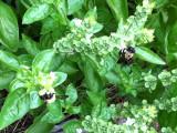 Basil and bumblebees